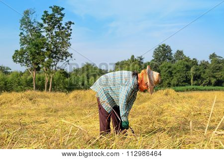 Thailand Farmer Harvesting The Rice In Rice Field