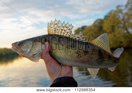 Walleye in fisherman's hand, good catch