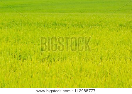View Of Light Green Field Of Winter Wheat In Early Spring