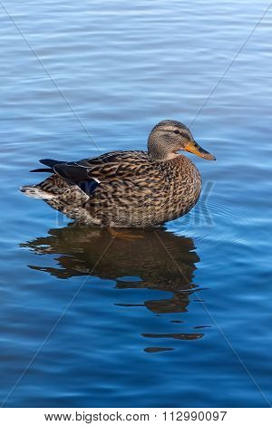 Duck floating in a pond.