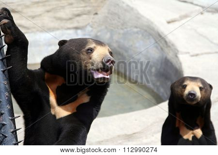 Asiatic black bears.