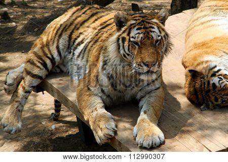 Tiger rests.
