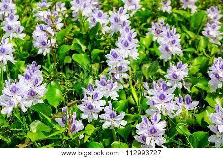 Detail Of Water Hyacinth