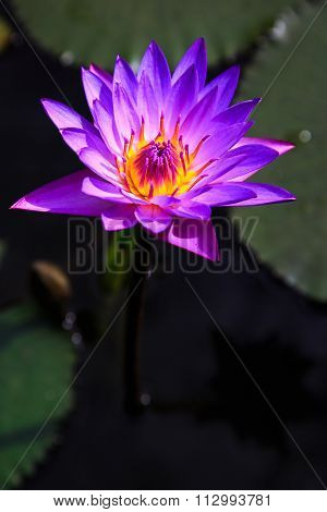 Closeup Of Purple Lotus Flower