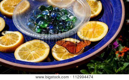 Julia Butterfly On Orange Slice