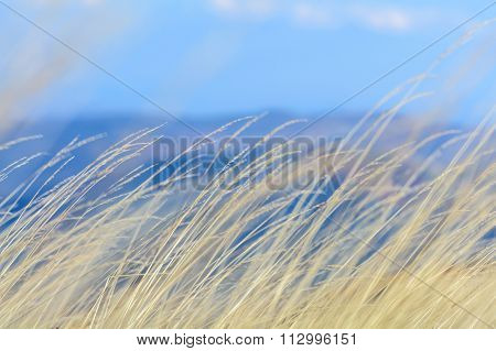 Close-up Of A Field Of Grains. Horizontal View Of A Field Of Grain, Early In The Morning Of An Autum