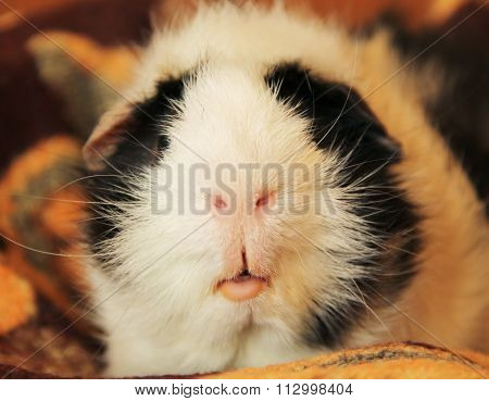 nose and mouth of guinea pig