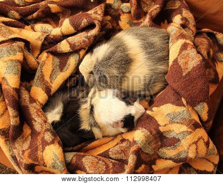 guinea pigs on the blanket