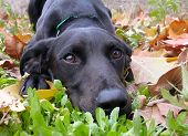 stock photo of sad dog  - purebreed labrador retriever laid down in grass in autumn - JPG