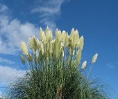 stock photo of pampas grass  - pampas growing in devonuk with lovely sky - JPG