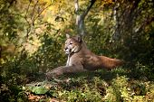 stock photo of mountain lion  - mountain lion laying down resting in the woods - JPG