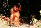 picture of funny animals  - The kid the orangutan has come out of the wood and costs on the road shined with the sunset sun - JPG