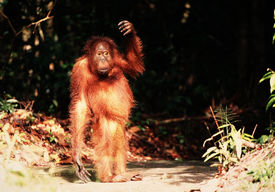 stock photo of funny animals  - The kid the orangutan has come out of the wood and costs on the road shined with the sunset sun - JPG