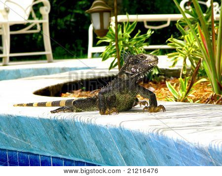 St. John Iguana