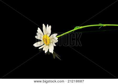 Flores Margarida de olho de boi