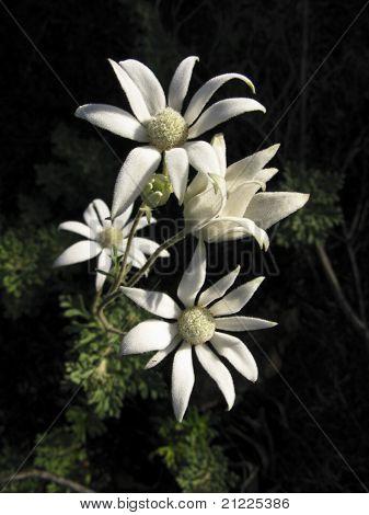 Australian Flannel Flower