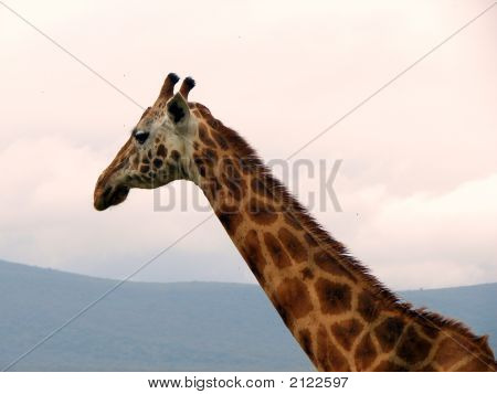 Graceful Giraffe