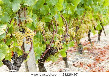 white grape in vineyard, Sauternes Region, Aquitaine, France