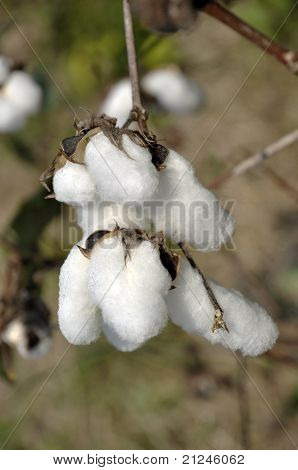 Cotton Day Plant Field Outdoor