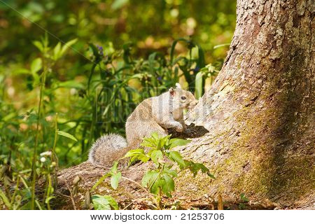 Gray Squirrel Perched On Tree Trunk