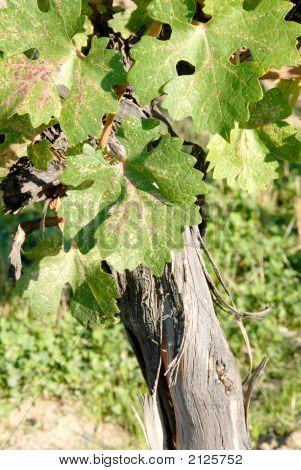 Cabernet Sauvignon Vine