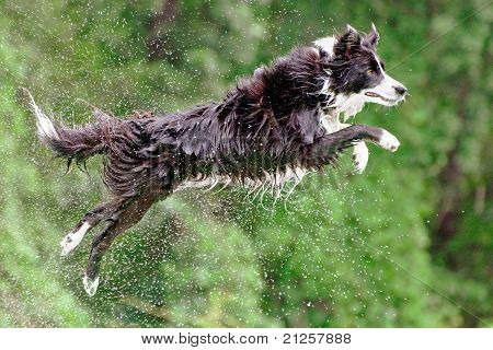 Wet border collie dog in midair after jumping off dock into water.