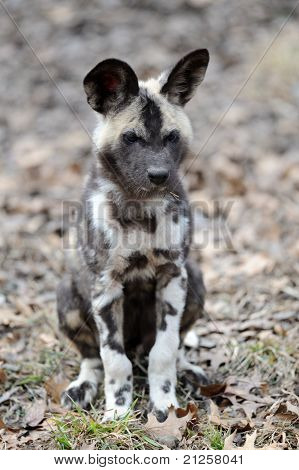African Wild Dog Pup