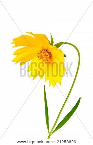 Coreopsis Flowers - Latin Coreopsis Ferulifolia, Isolated On A White Background