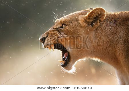 Lioness displays dangerous teeth during light rainstorm  - Kruger National Park - South Africa