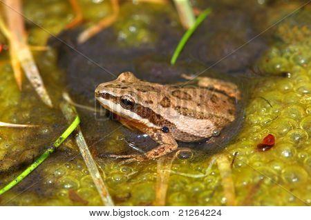 Western Chorus Frog (Pseudacris triseriata)