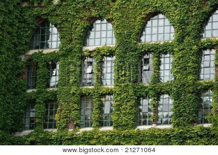 Ivy around windows