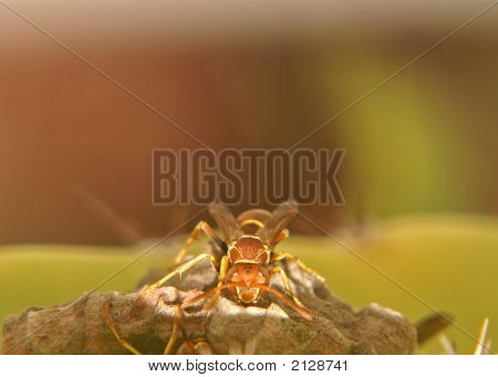 Paper Wasp Tending Nest With Open Space