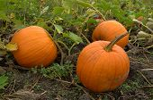 stock photo of jack-o-laterns-jack-o-latern  - 3 Ripe orange pumpkins in the patch waiting to be turned into jack - JPG