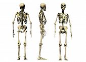stock photo of skeleton  - 3 views of a male skeleton isolated on a white background - JPG