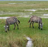 stock photo of ox-pecker  - It seems that these zebra have a natural sense of symmetry - JPG