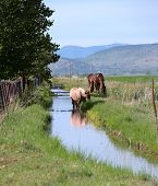 stock photo of klamath  - Three horses along a small creek grazing in southern Oregon near Klamath Falls - JPG