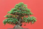 pic of centenarian  - beautiful Ficus tree bonsai over red background - JPG