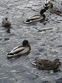 foto of water bird  - Mallard ducks in pond in Victoria BC park - JPG