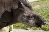 foto of tapir  - Tapir from south Africa found in Brazil - JPG
