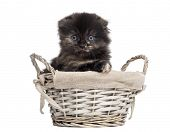 Front view of a Highland fold kitten in a wicker basket, isolated on white poster