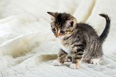 Portrait Of Tabby Kitten With Few Red Spots And White Chest And Paws poster