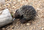 stock photo of ant-eater  - australian echidna in the bush looking for food - JPG