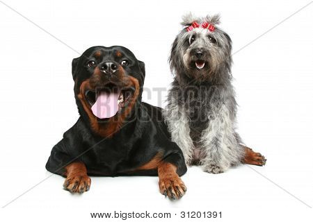 Rottweiler and mix-breed Dog