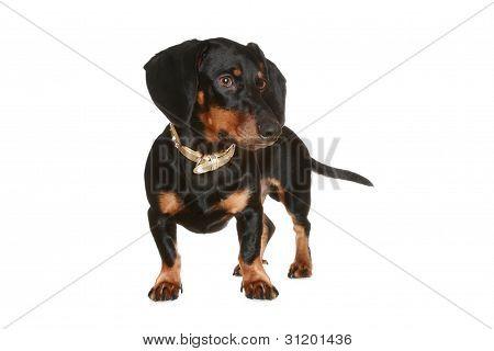 Black And Brown Dachshund Puppy