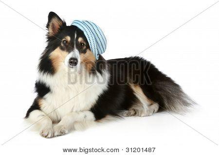Sheltie (small Collie Dog) Lying On White Background