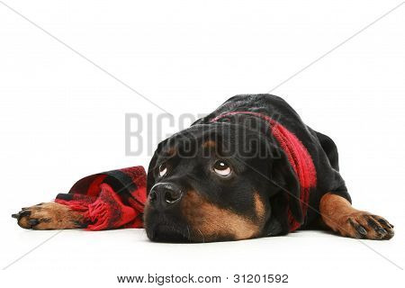 Rottweiler In A Red Scarf Thoughtfully Looks In Top