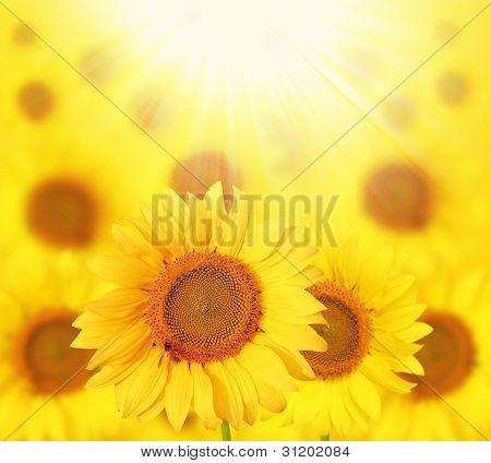 Full Bloom Sunflowers Backlit By Sun In A Garden