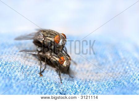 Flies Mating