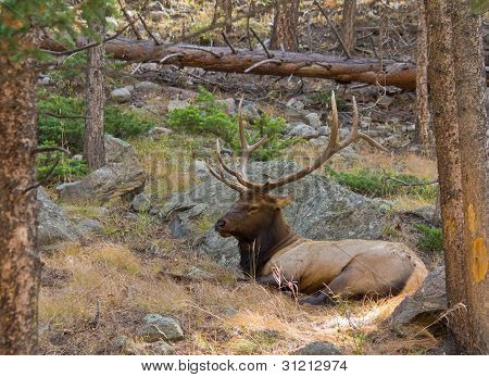 Bull Elk Napping