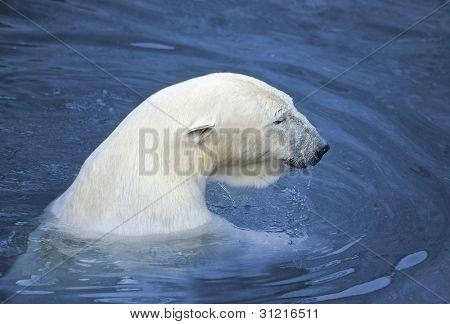 White polar bear in water